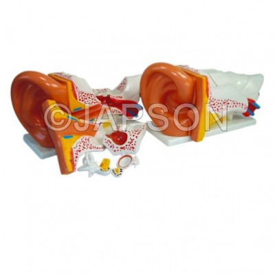 Ear model, PVC Plastic