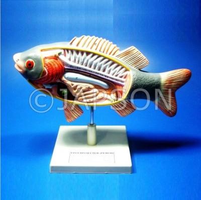 Fish Model, Superior