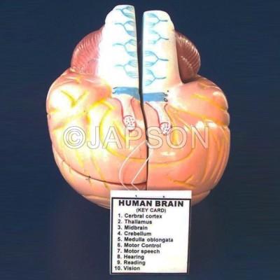 Human Brain Model, 4 Parts