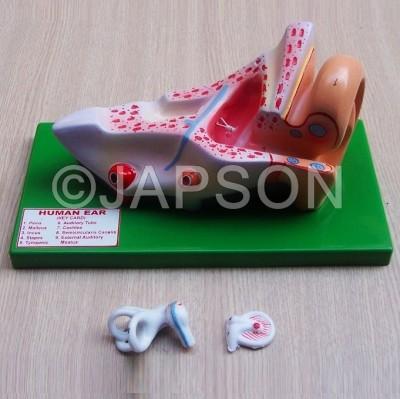Human Ear Model, 3 Parts