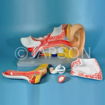 Human Ear Model, 5 Parts, Superior