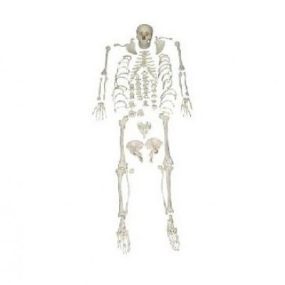 Human Skeleton Model, Disarticulated