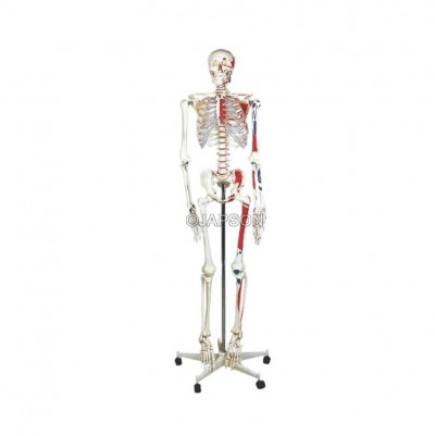 Human Skeleton Model, Painted, Life Size