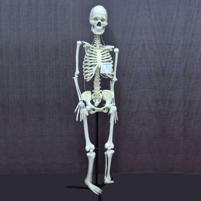 Human Skeleton Model, Superior