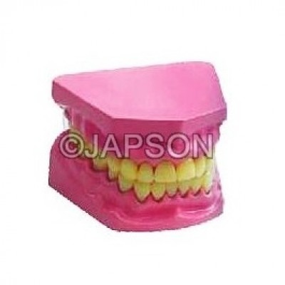 Human Teeth Model, Dental Care, Small