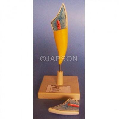 Human Teeth Model, Incisor