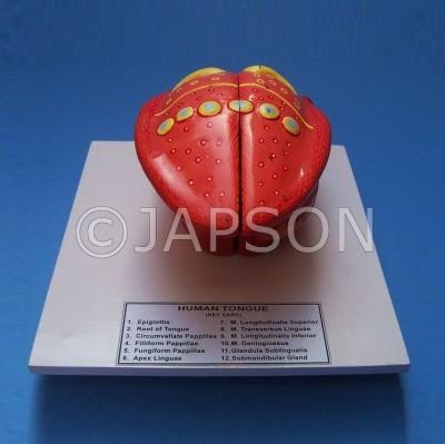 Human Tongue Model