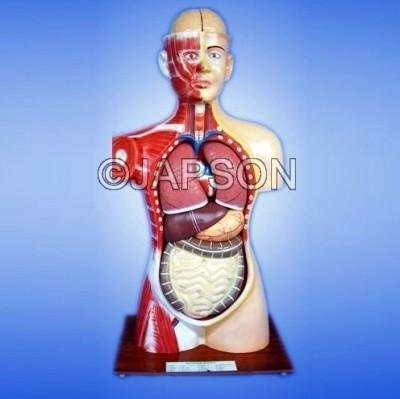 Human Model Torso, Full size, 9 Parts