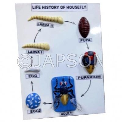 Model, Life History of Housefly