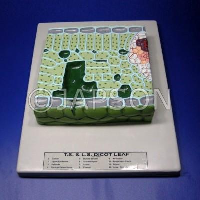 Model, T. S. Dicot Leaf