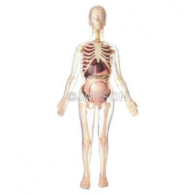 Visible Expectant Mother Anatomy Kit