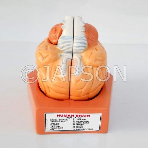 Human Model - Brain, 4 Parts, on Base