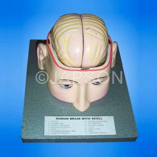 Human Brain Model in Head