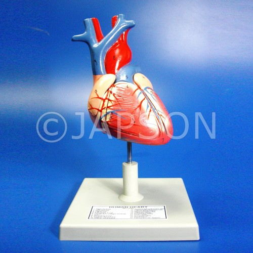 Human Heart, 4 Parts