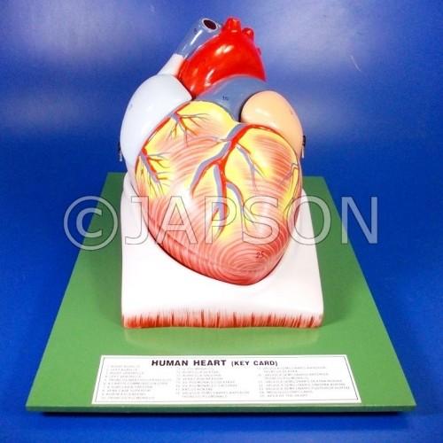 Human Model - Heart, 4 Parts, on Base