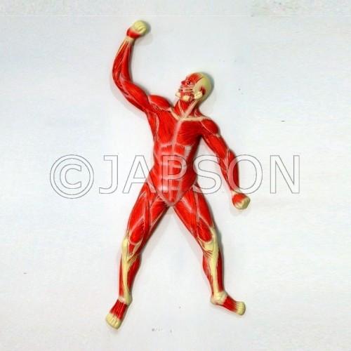 Human Model - Muscle on Board, Big