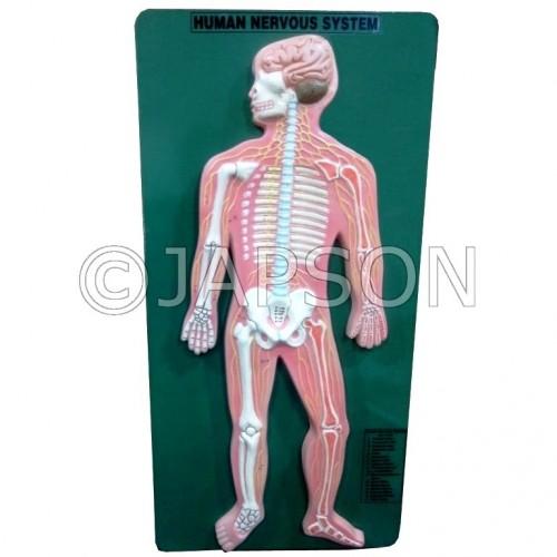 Human Model - Nervous system, Superior
