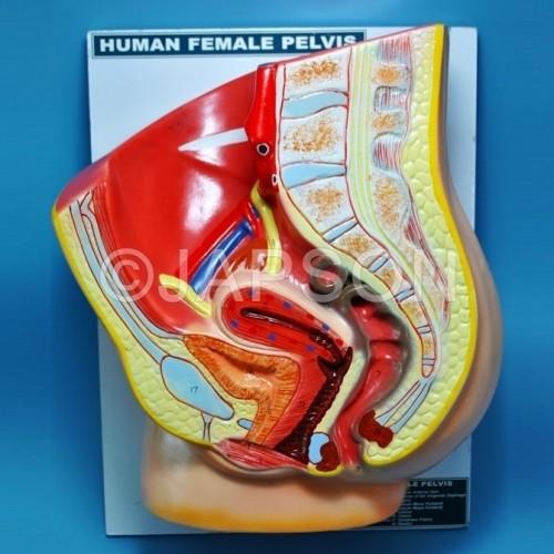 Human Model, Pelvis Female