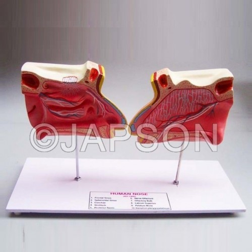 Human Nose and Olfactory Organ Model