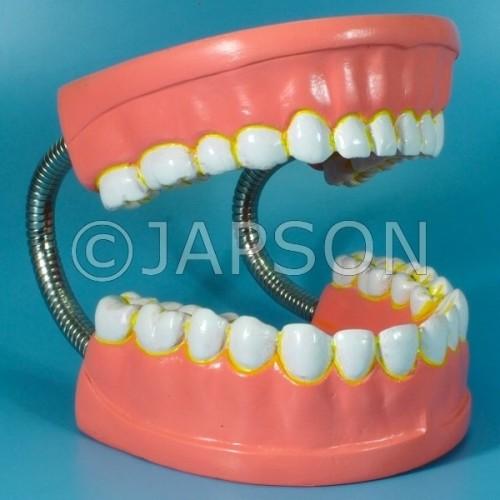 Human Teeth Model, Dental Care