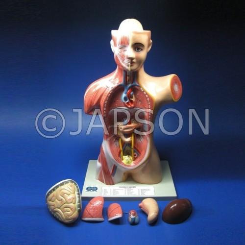 Human Torso Model, Mini 2