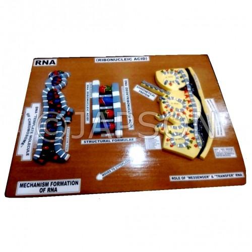 Model, RNA, on Board